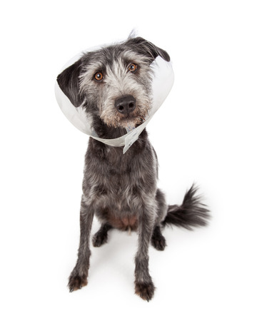 Terrier dog sitting wearing a plastic medical cone around her neck