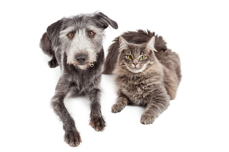 lying forward: Beautiful adult gray color domestic medium hair cat laying down next to a cute mixed terrier breed dog.