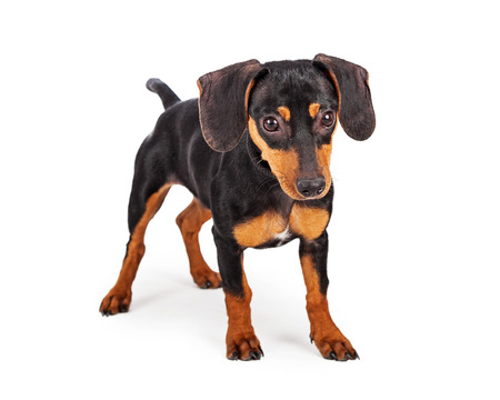 doxie: A cute little young Dachshund breed puppy dog standing on a white background