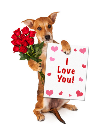 st  valentines day: A cute little yellow crossbreed puppy sitting up and holding a dozen red roses and a sign saying I Love You with hearts Stock Photo