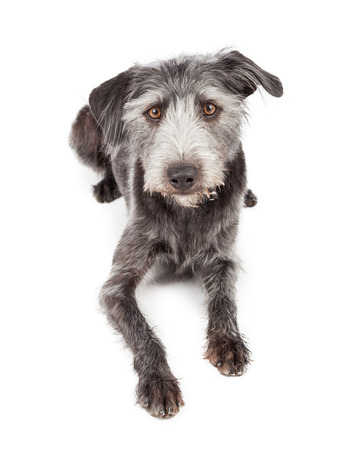 laying forward: Cute terrier mixed large breed dog laying down and looking forward