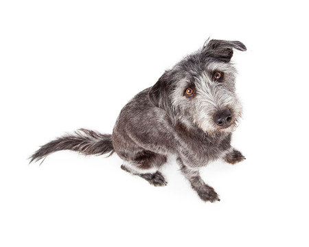 Photo of a terrier crossbreed dog taken from above looking down