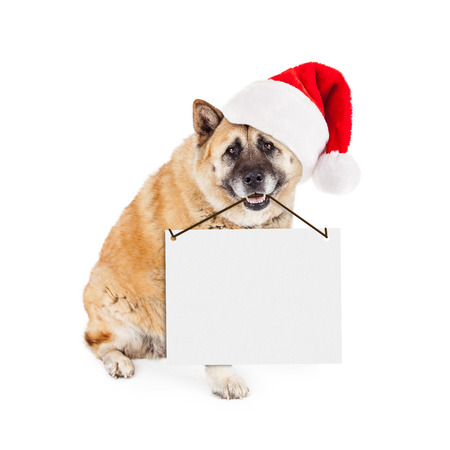 st  nick: A large Akita dog wearing a red Santa Claus hat sitting and holding a blank sign from his mouth. Enter your own text. Stock Photo