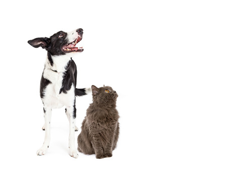 large dog: A happy crossbreed dog and a pretty gray color cat together looking up and to the side into blank copy space