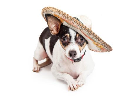 흰색 배경에 누워있는 동안 카메라를보고있는 동안 멕시코 솜브레로 입고 귀여운 작은 치와와 강아지 스톡 콘텐츠