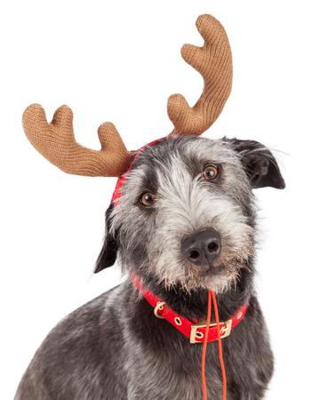 renna: Foto del primo piano di un simpatico cane indossando corna di renna di Natale