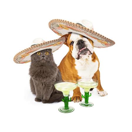 Leuke grijze kat en bulldog zitten samen vieren Conco De Mayo dragen van Mexicaanse sombrero's met margarita cocktails