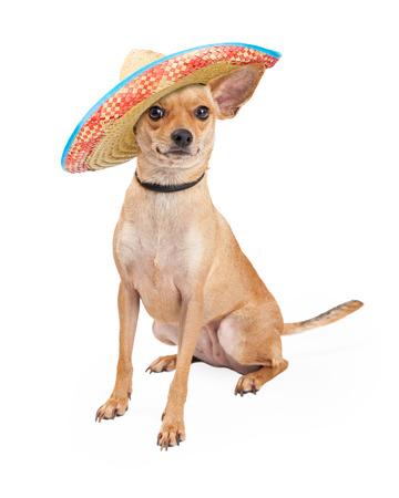 사랑스러운 치와와 품종 개는 큰 멕시코 솜브레로 착용