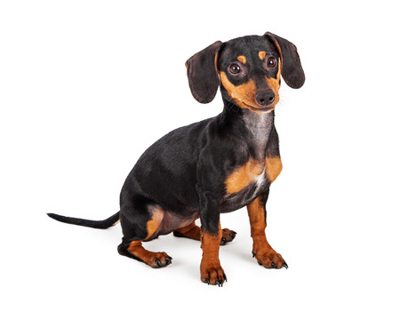 A cute little purebred Dachshund breed puppy dog  sitting against a white background and looking forward
