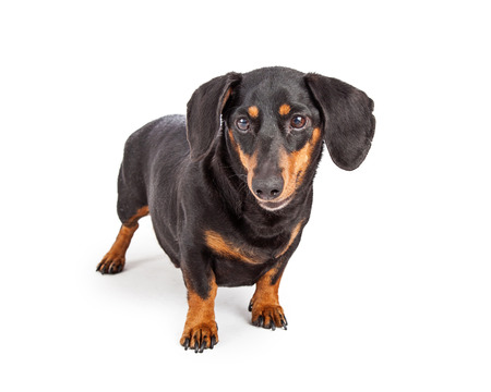 doxie: A cute adult Dachshund breed dog standing on a white background Stock Photo