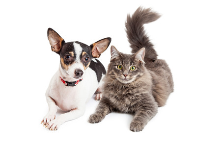 An adorable Chihuahua dog and a pretty gray color tabby cat laying together