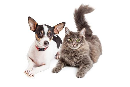 Ein entzückender Chihuahua Hund und ein ziemlich grau getigerte Katze mit zusammen Standard-Bild - 38566714