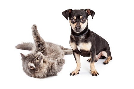 frisky: A little Dachshund mixed breed dog annoyed with a frisky cat that is trying to play with him
