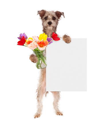 Cute dog holding a jar of colorful tulip flowers and holding a blank sign to enter your message on photo