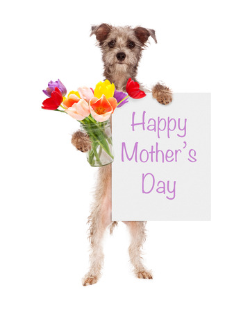 Cute dog holding tulip flowers with a Happy Mothers Day sign