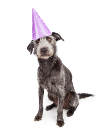 festive occasions: Cute terrier dog wearing purple birthday party hat Stock Photo