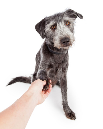A cute and friendly medium size crossbreed dog reaching his paw out towards the camera to shake hands with a person. Image view from the perspective of the person. Stock Photo