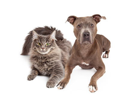laying forward: A beautiful gray color cat and dog laying close together and looking forward at the camera Stock Photo