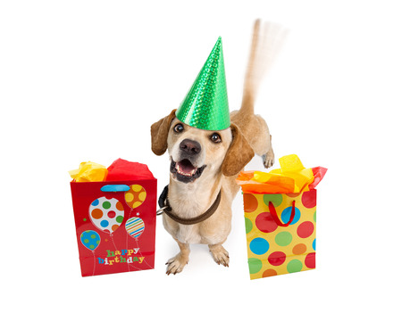 wagging: A cute young puppy dog wearing a birthday hat next to colorful gift bags. Intentional motion blur from a wagging tail. Isolated on white.