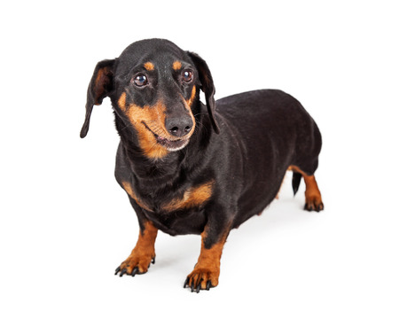 doxie: An adult Dachshund breed dog with a happy expression standing on a white background Stock Photo