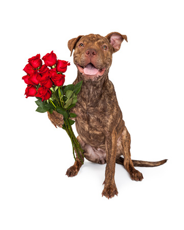 brindle: A cute brindle color Pit Bull and Shar Pei crossbreed dog holding a dozen beautiful red roses
