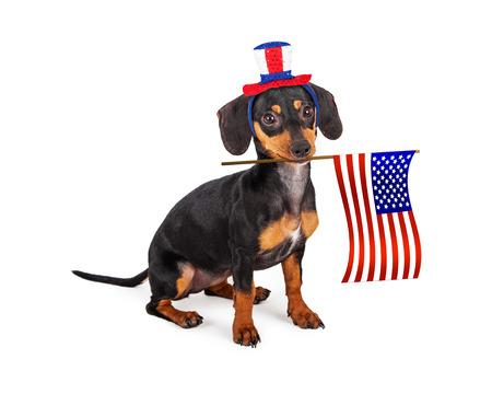 Eine patriotische kleine reinrassige Rasse Dackel Welpen Hund trägt einen roten, weißen und blauen Hut und hält eine amerikanische Flagge in seinem Mund. Standard-Bild - 38567533
