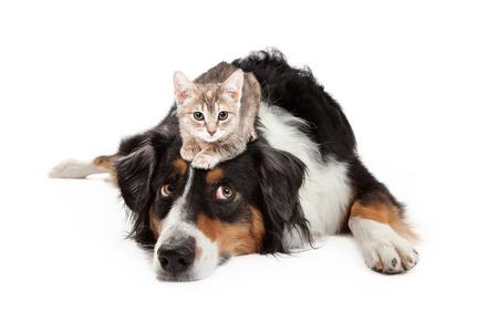 짜증이 식으로 그의 눈을 압연하는 큰 셰퍼드 혼합 된 유형 강아지의 머리에 앉아 작은 새끼 고양이 스톡 콘텐츠