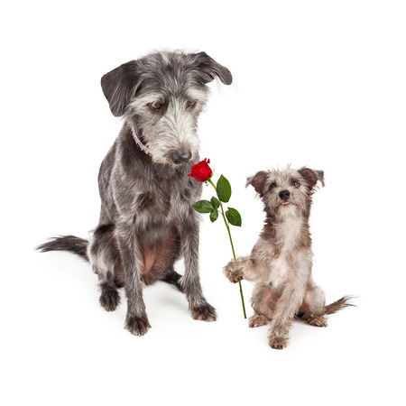 Cute little terrier crossbreed puppy dog looking up at his mother and handing her a single red rose flower for Mother's Day