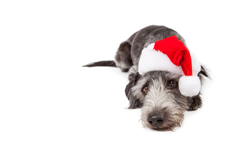 Tired dog laying down wearing a red Christmas Santa hat with room for text