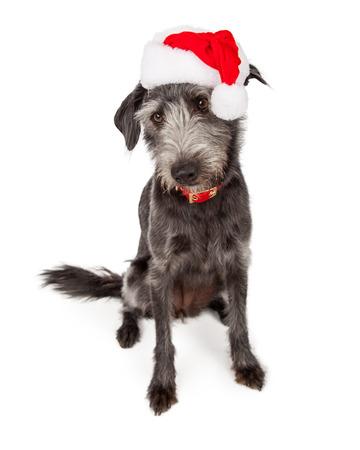 st  nick: Cute Christmas Santa terrier crossbreed dog looking down