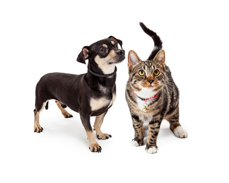 A cute young Bengal breed cat standing next to a small Chihuahua and Dachshund crossbreed dog. Both are looking up and to the side.
