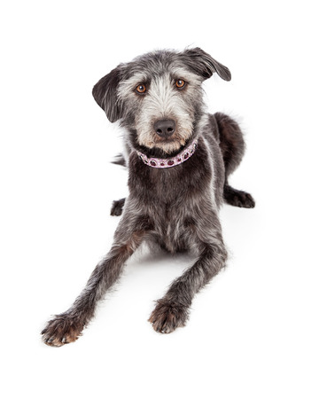 Cute terrier crossbreed dog wearing a pretty purple collar with jewels