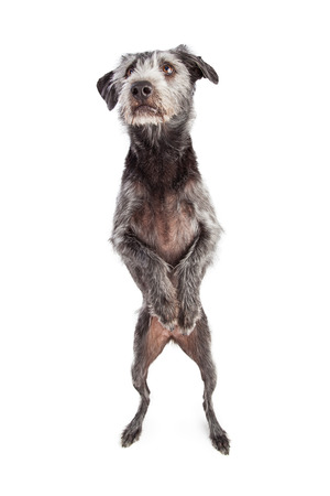 A large terrier crossbreed dog standing on back legs with paws up begging Stock Photo