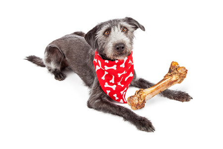 big dog: Cute terrier crossbreed dog wearing a red bone print bandana with a big bone in front of her Stock Photo