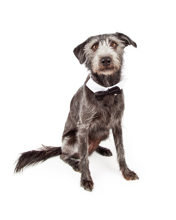 cross ties: Cute terrier mixed breed dog sitting and wearing a formal black bowtie