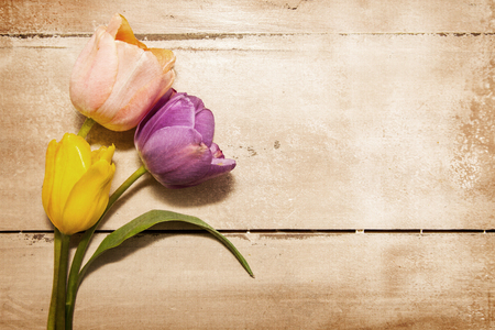 Three pretty pastel color tulip flowers laying on an old wood table. Antique textured filter effect applied. photo