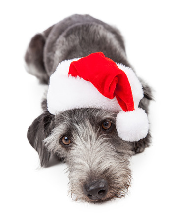 cute christmas: Cute terrier crossbreed dog wearing a red Christmas Santa hat while laying down