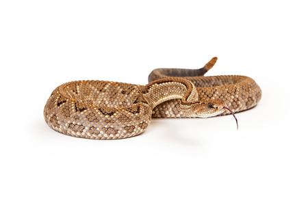 serpiente de cascabel: Aruba cascabel - Un peligro crítico (CR) especies de serpientes venenosas pitviper se encuentran principalmente en el Caribe. Snake es enrollada con la lengua fuera. Foto de archivo