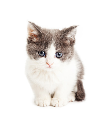 Cute little five week old kitten with grey and white fur sitting and looking forward at the camera