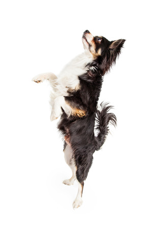 A dancing Chihuahua Mixed Breed Dog with a full body profile.  Dog is looking up.