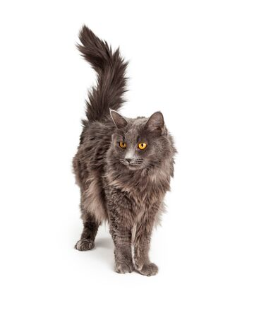 longhair: A pretty domestic longhair cat with long hair standing on a white background