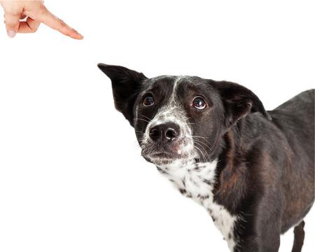 disciplina: Un miedo Pastor Australiano Raza mestiza Perro mirando a su dueño lo regaña y señalando con el dedo Foto de archivo