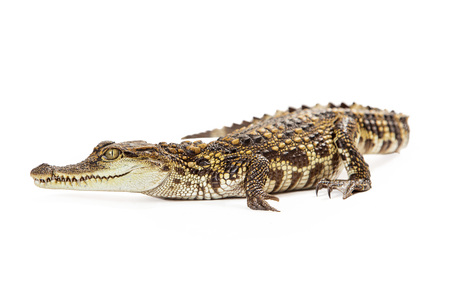 endangered species: Six month old baby Siamese Crocodile, a red-listed critically endangered species laying on a whitebackground