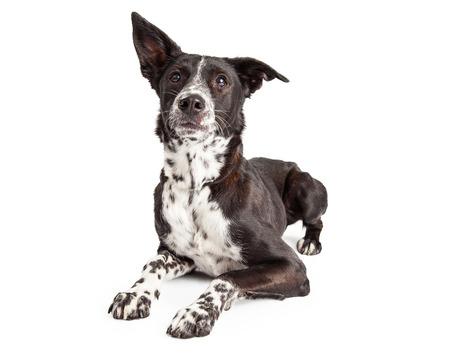obediencia: Un pastor australiano Perro Raza mestiza atento que pone con las patas delanteras extendidas Foto de archivo