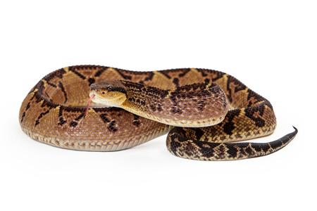 Lacheiss muta stenophrys, 중앙 아메리카 Bushmaster, 중미 및 남미 지역에서 주로 발견되는 악의적 인 구덩이 독사 뱀