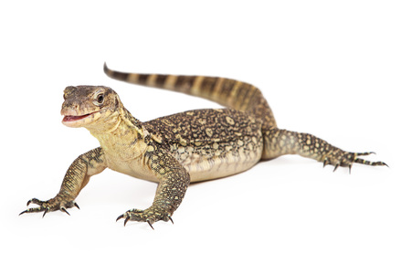 salvator: Varanus salvator, commonly known as Asian Water Monitor sitting on a white background with an attentive expression and open mouth.