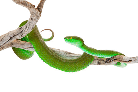 Beautiful bright green color White-lipped Pit Viper, also known as Cryptelytrops albolabris, a venomous tree snake found mainly in southeast Asia Imagens