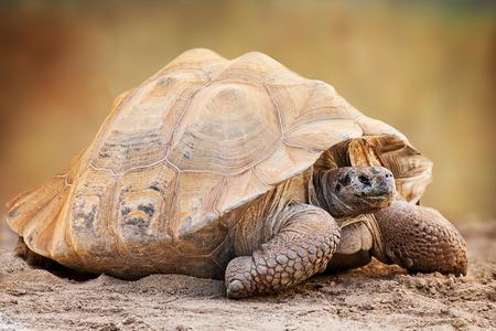 tortuga: Vista lateral de un gran Chelonoidis nigra, comúnmente conocida como tortuga de Galápagos, un nativo de la tortuga gigante de las Islas Galápagos