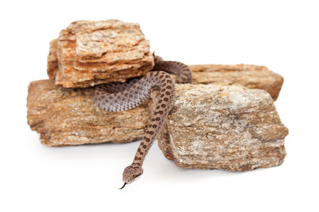 southeastern: Crotalus pricei, also known as twin-spotted rattlesnake, a venomous snake found mainly in southeastern Arizona and Northern Mexico.