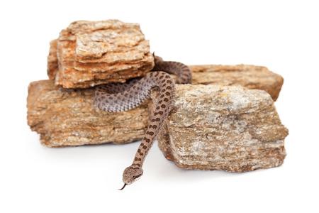 serpiente de cascabel: Pricei Crotalus, tambi�n conocido como doble-manchado serpiente de cascabel, una serpiente venenosa se encuentra principalmente en el sureste de Arizona y el norte de M�xico. Foto de archivo